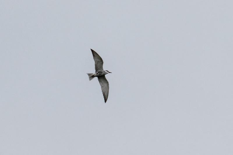 Whiskered Tern - Hvidskægget Terne