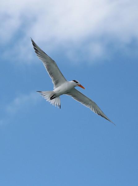Royal Tern on Siesta Key, FL