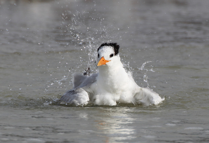 Royal Tern bathing