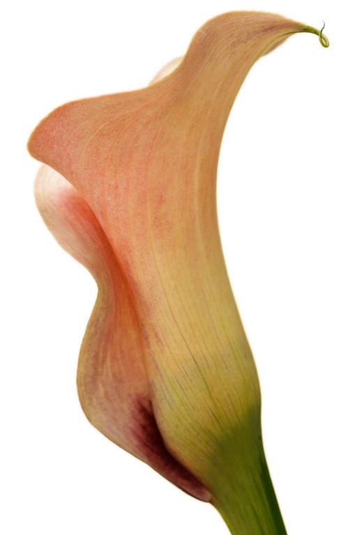 Mango Cala Lily 4