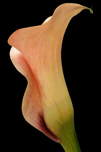Mango Cala Lily 5
