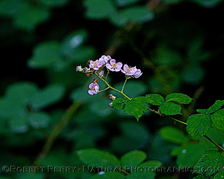 Rubus ursinus Pacific Blackberry flower Pudding Creek 2020 10-21 Ft Bragg-117