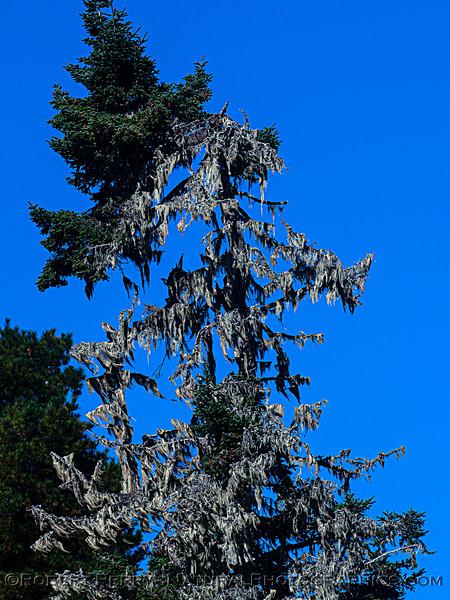 Ramalina menziesii Lace lichen strands on trees Pudding Creek 2020 10-21 Ft Bragg-020