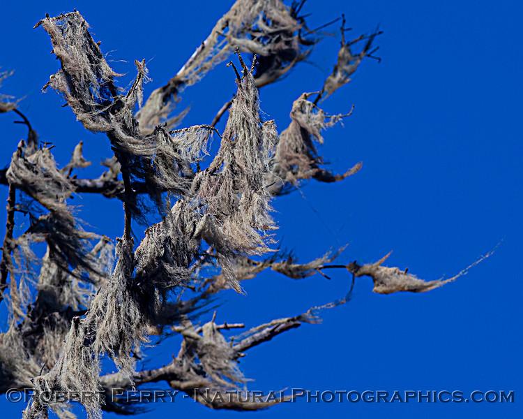 Ramalina menziesii Lace lichen strands on trees Pudding Creek 2020 10-21 Ft Bragg-005