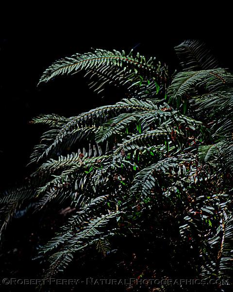 Ferns Pudding Creek 2020 10-21 Ft Bragg-013
