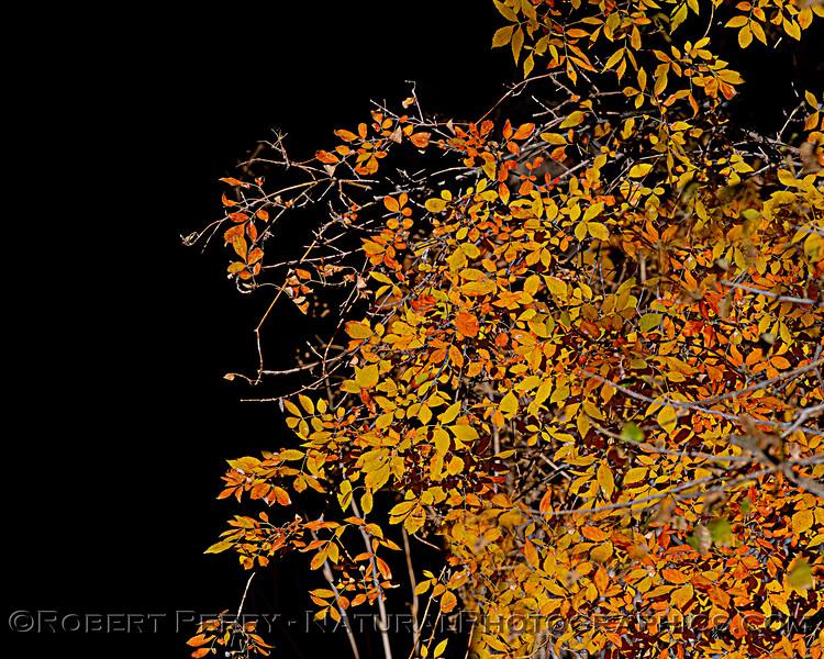 autumn tree colors 2020 12-01 Sac NWR--031
