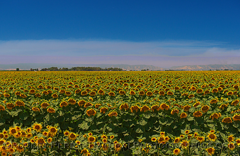Panorama showing a small portion of a sunflower field with coastal mountains and smoke from a wildfire.