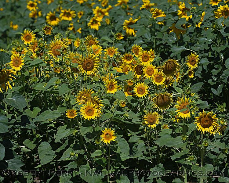 Male sunflower plants.