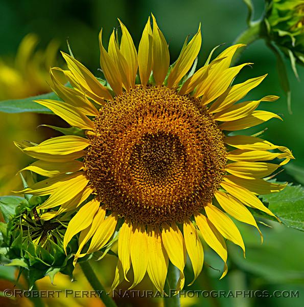 Sunflower female.
