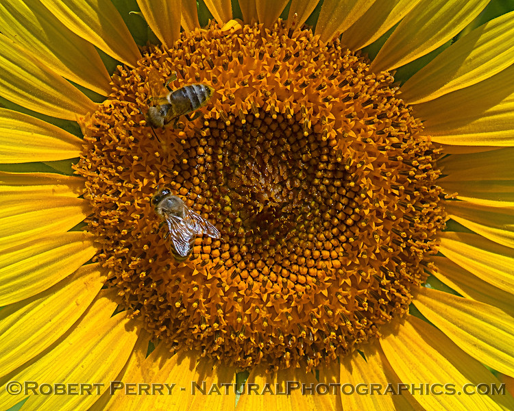 Close look at sunflower with 2 honey bees at work.