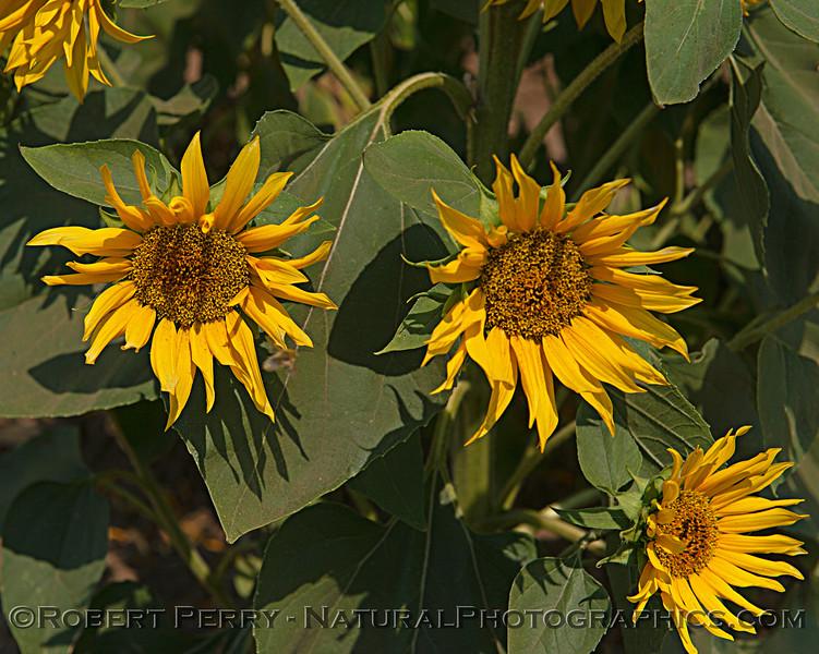 Three male sunflower flowers.