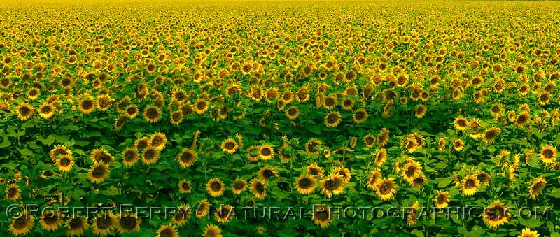 Wider look at a portion of a sunflower field near Dixon, CA