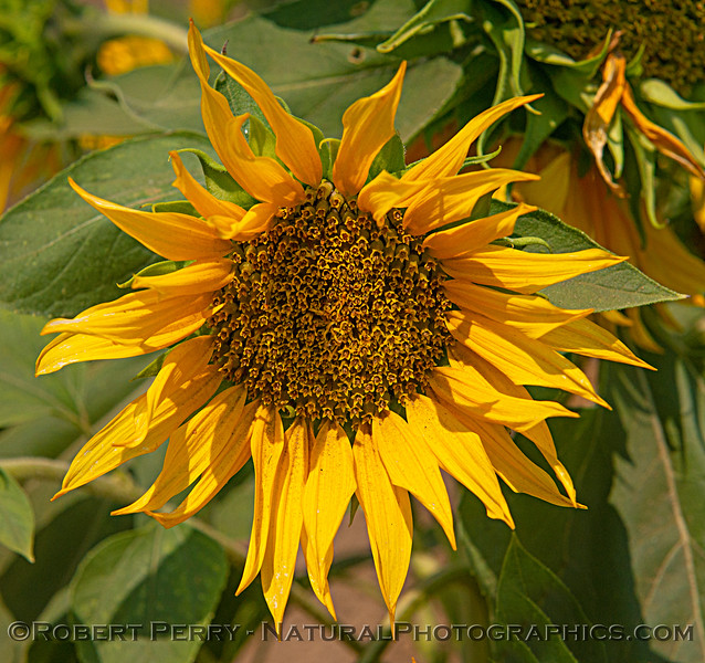 Close look at a male sunflower