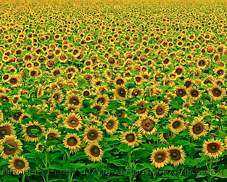 Mesmerizing effect of so many sunflower blossoms.