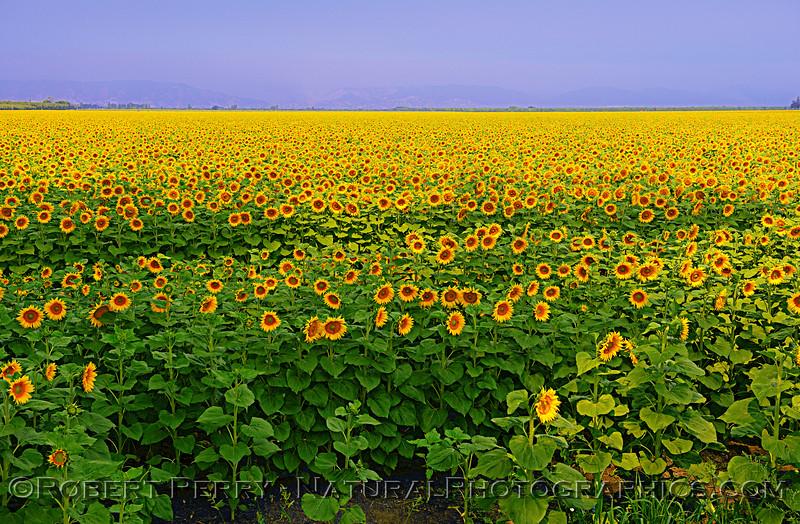Part of a sunflower field - Dixon, CA