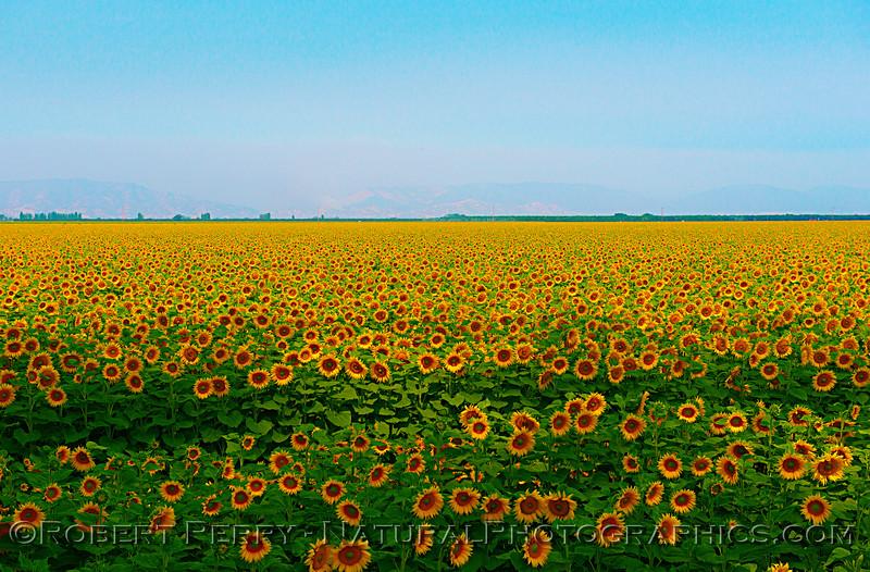 Part of a sunflower field in Dixon, CA