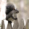 AKA - Sparky Starkweather - State Park Squirrel