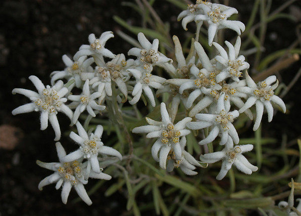 """the famous """" Edelweiss """"  in LECH , Switzerland"""