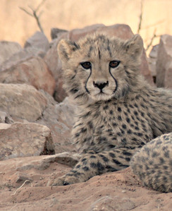 This Cheetah Cub is just three months old, and the photo was taken at  **Okambara Lodge **  in Namibia.