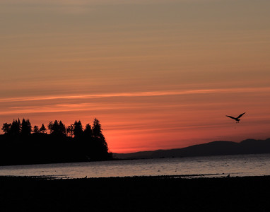 Sunset Seagul