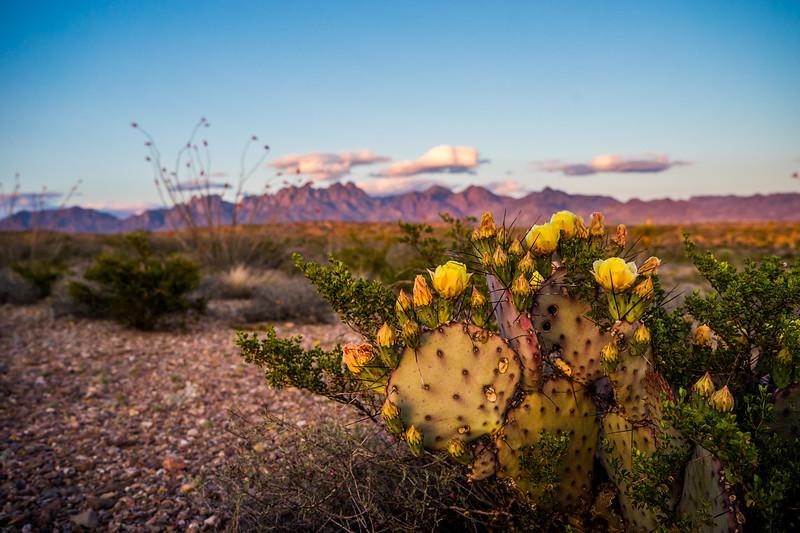Blooming Cacti