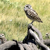 Burrowing-Owls-4750