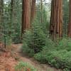 RedwoodSequoia