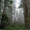 RedwoodsinMist