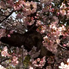 DC Cherry Blossom 100 sec clip March 2008 1280x720 streamclip