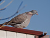 26 Nov 2010 - Wood Pigeon at Widley. Copyright Peter Drury 2010.<br /> Part of E5 Tests. Sigma 50-500, ISO 200, F7.1, Aperture Priority