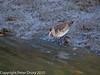Black-tailed Godwit at Broadmarsh. Copyright Peter Drury 2010