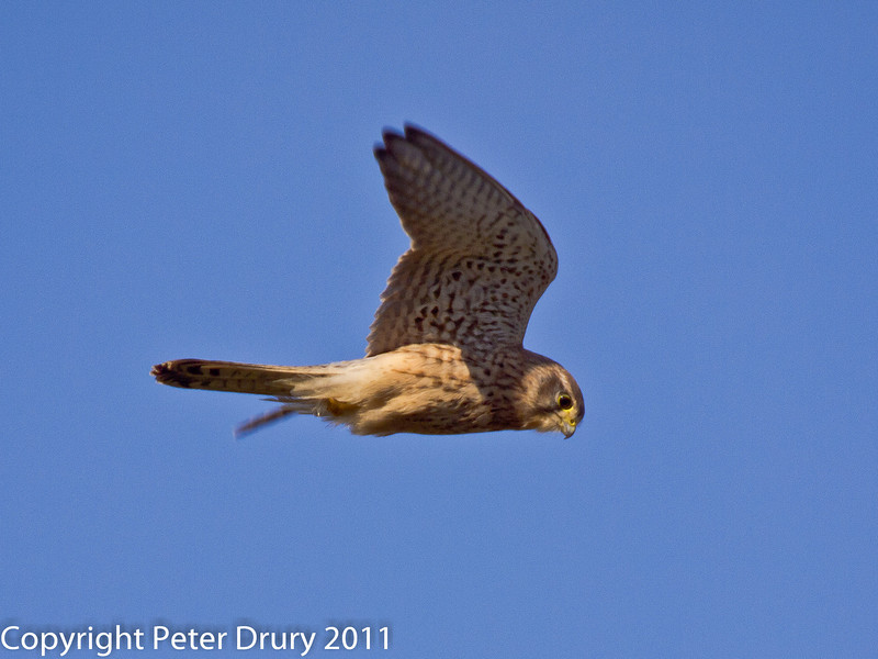 28 January 2011. Kestrel hunting over field between the Oysterbeds and the Hayling Billy Trail.  Copyright Peter Drury 2011