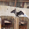 23 Nov 2010 - Cormorant at Broadmarsh, Langstone Harbour. Copyright Peter Drury 2010 Part of E5 Tests,<br /> Just after the dredger left, the Cormorant flew up to the quay side to dry its wings.<br /> E5 + Sigma 50-500, ISO 800, f7.1, Aperture Priority