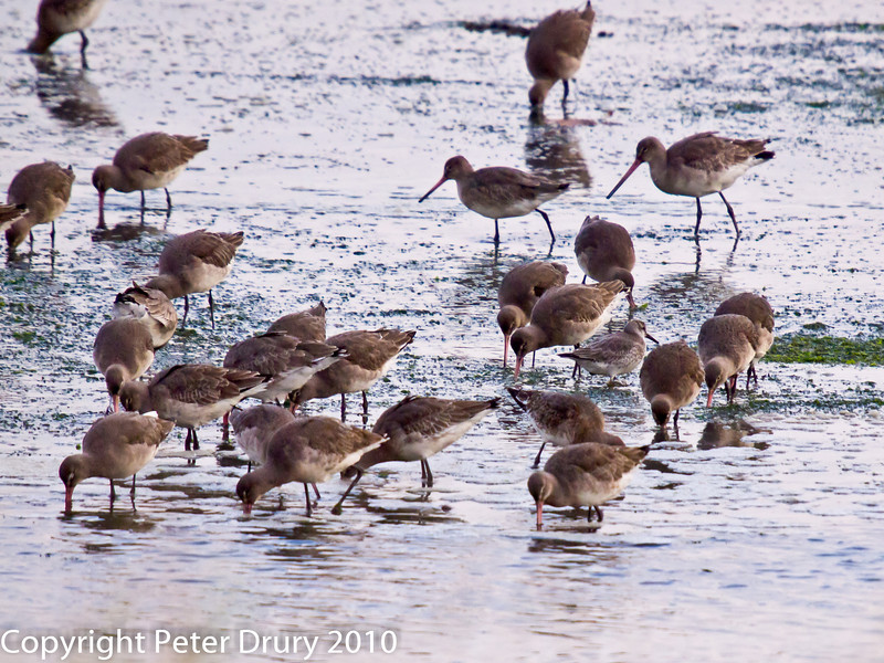 29 Nov 2010 - Black-tailed Godwit in Portsmouth Harbour. Copyright Peter Drury 2010. From RAW file