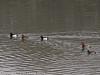 26 Dec 2010. Tufted Ducks and Pochard? at Broadmarsh, Langstone Harbour. Copyright Peter Drury 2010