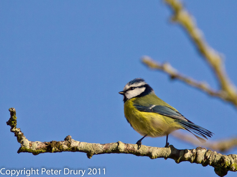 30 January 2011. Blue tit at Widley.  Copyright Peter Drury 2011