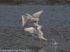 02 Jan 2011. Black-headed Gulls at Broadmarsh. Copyright Peter Drury 2011<br /> Triple decker