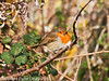 28 Nov 2010 - Robin at Broadmarsh. Copyright Peter Drury 2010. Part of E5 Tests<br /> E5 + Sigma 50-500, ISO 400, f7.1, Aperture Priority