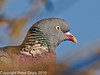 26 Nov 2010 - Wood Pigeon at Widley. Copyright Peter Drury 2010.<br /> Part of E5 Tests. Sigma 50-500, ISO 200, F7.1, Aperture Priority<br /> Camera jpg .