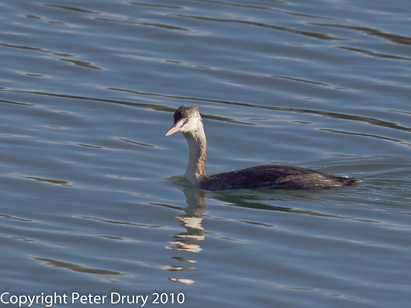 26 Nov 2010 - Great Crested Grebe (Juvenile). Copyright Peter Drury 2010. From RAW file