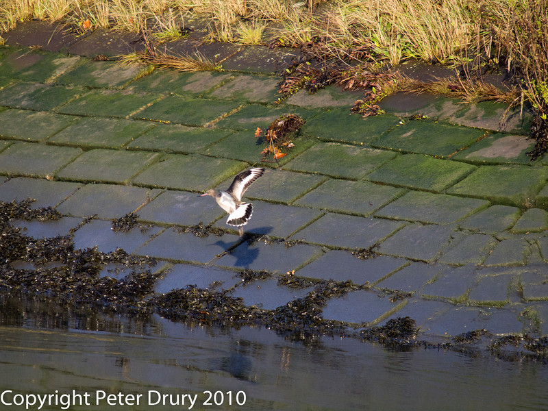 03 Dec 2010 - Black-tailed Godwit at Hermitage Stream. Copyright Peter Drury 2010.