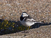 26 Nov 2010 - Pied Wagtail at Broadmarsh. Copyright Peter Drury 2010. From Camera jpg<br /> Part of E5 Tests<br /> E5 + Sigma 50-500, ISO 200, f7.1, Aperture Priority