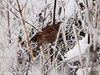 03 Dec 2010 - At -3C this Dunnock was desperately trying to find food, chirping all the time. Copyright Peter Drury 2010. Part of E5 Tests