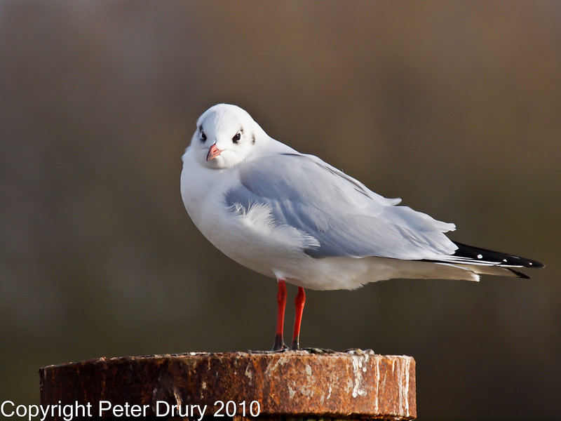 28 Nov 2010 - Black-headed Gull at Broadmarsh. Copyright Peter Drury 2010. Part of E5 Tests<br /> E5 + Sigma 50-500, ISO 400, f7.1, Aperture Priority