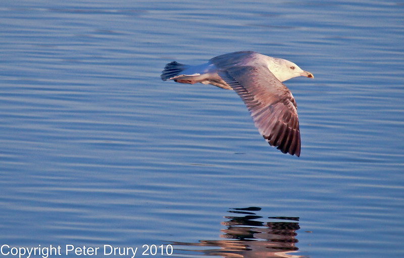 15 Nov 2010 - Juvenile Herring Gull at Broadmarsh, Langstone Harbour. Copyright Peter Drury 2010<br /> Frame 2