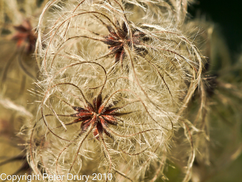 16 Nov 2010 - E5 (From original jpg) with Sigma 150 Macro. Copyright Peter Drury 2010<br /> Aperture at f/5.6 to pick out these two seed heads from the surrounding clusters. Flash was not used. Focus C-AF.