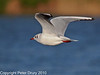 11 Oct 2010 - Black-headed Gull at Slipper Pond, Emsworth. Copyright Peter Drury 2010