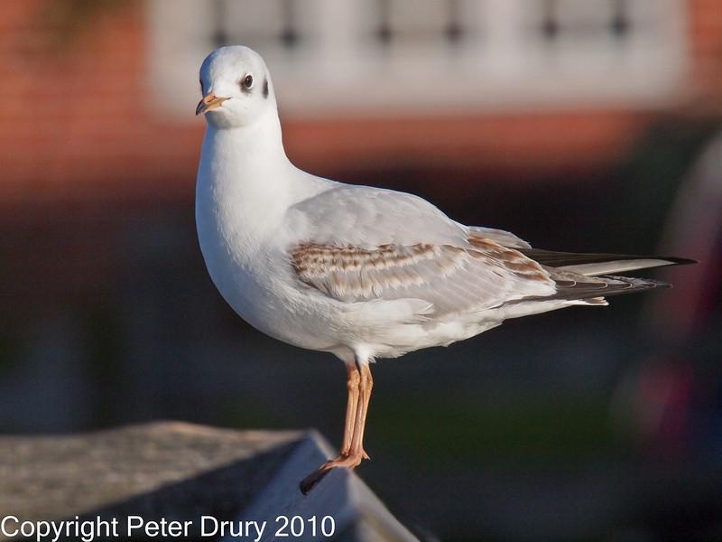 11 Oct 2010 - Black-headed Gull (Juvenile) at Slipper Pond, Emsworth. Copyright Peter Drury 2010
