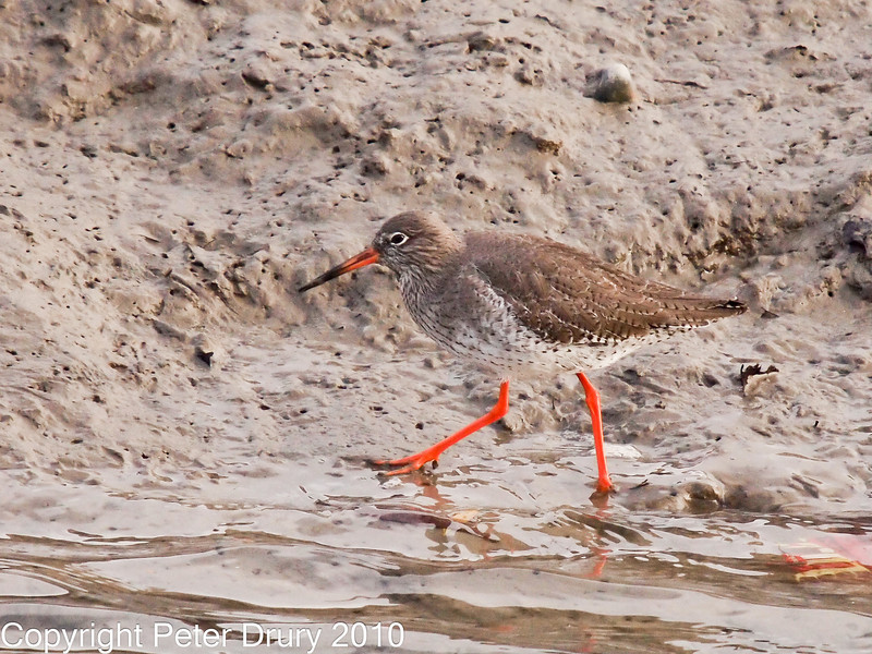 30 Nov 2010 - Redshank at Broadmarsh. Copyright Peter Drury 2010. Part of E5 Tests<br /> E5 + Sigma 50-500, ISO 800, f7.1, Aperture Priority