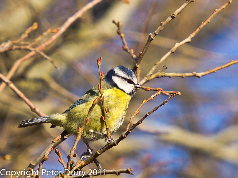 28 January 2011. Blue tits searching for food along the  Hayling Billy Trail.  Copyright Peter Drury 2011